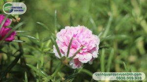 hoa-muoi-gio-trong-san-vuon